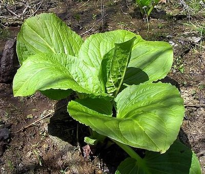 Skunk_Cabbage_Leaves.jpeg