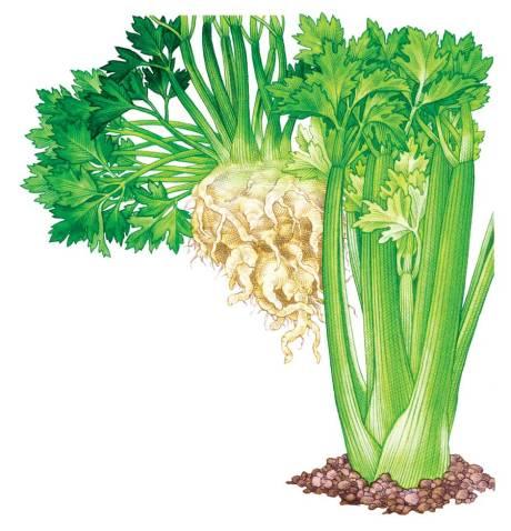 MEN-DJ11-cag-celery