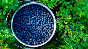 blueberries-1100