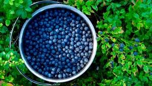 blueberries-1100