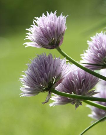 garlic-grass-0410-lg