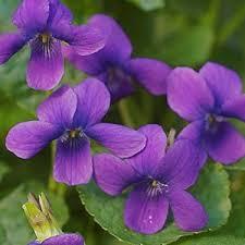 imagesviolets