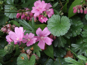mallow-malva-neglecta